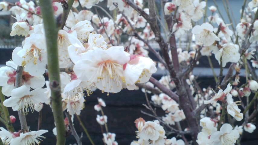 梅が咲いた&鴻上尚史